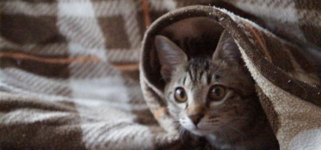 こたつ布団に包まる猫