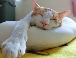 クッションの上で寝る猫